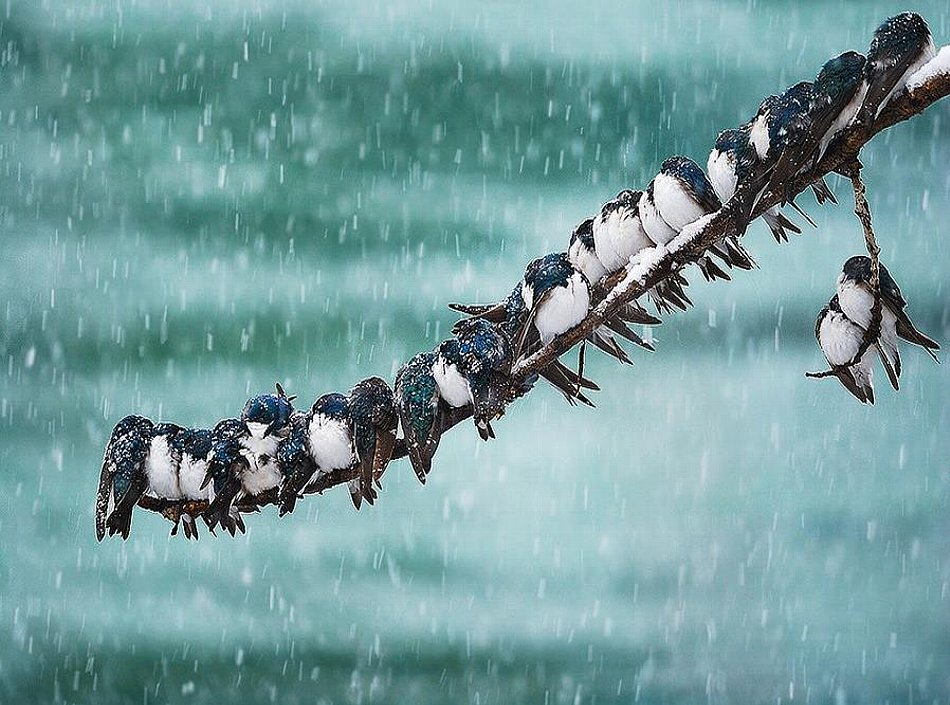 Seemingly Surreal Swallows in a Autumn Snowstorm.jpg