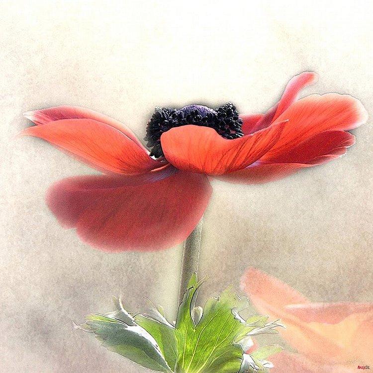 Windflowers dance.jpg